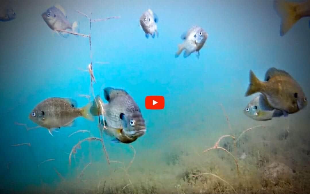 Deepwater Bluegills