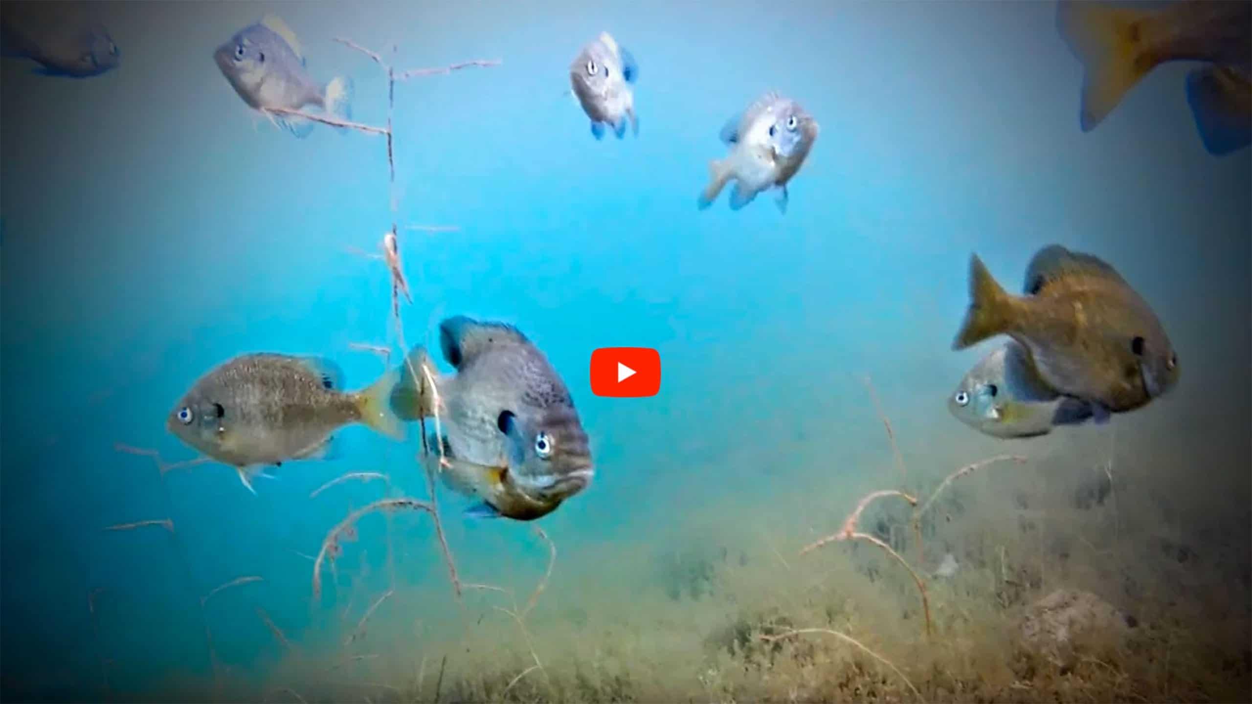 Deepwater-Bluegills